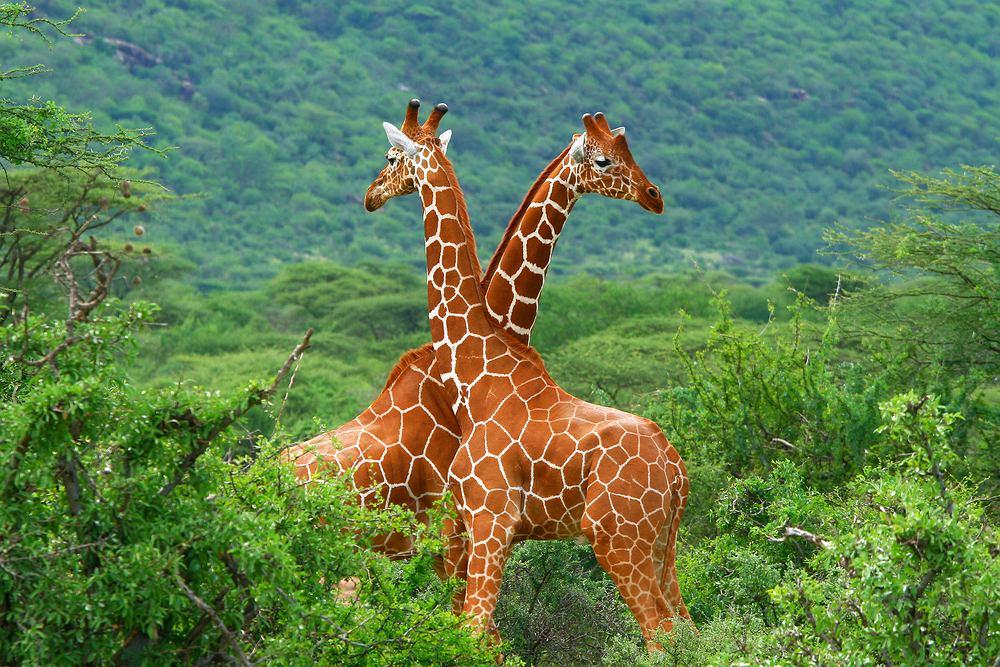 Kenia wycieczka, Afryka, żyrafy