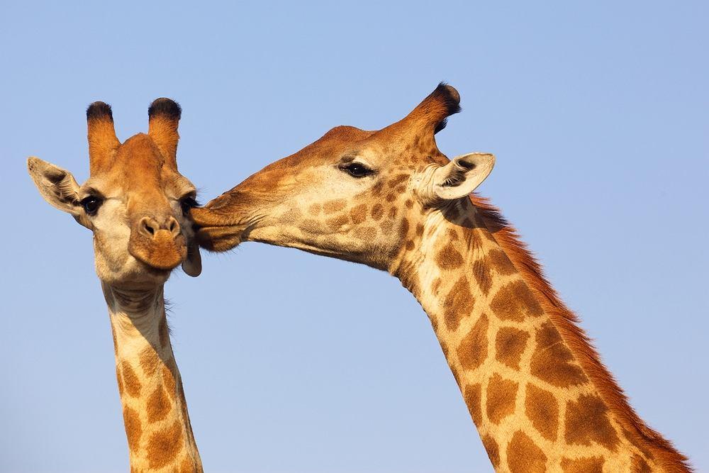 Takie słodkie żyrafy spotkasz m.in. w Parku Narodowym Krugera w RPA