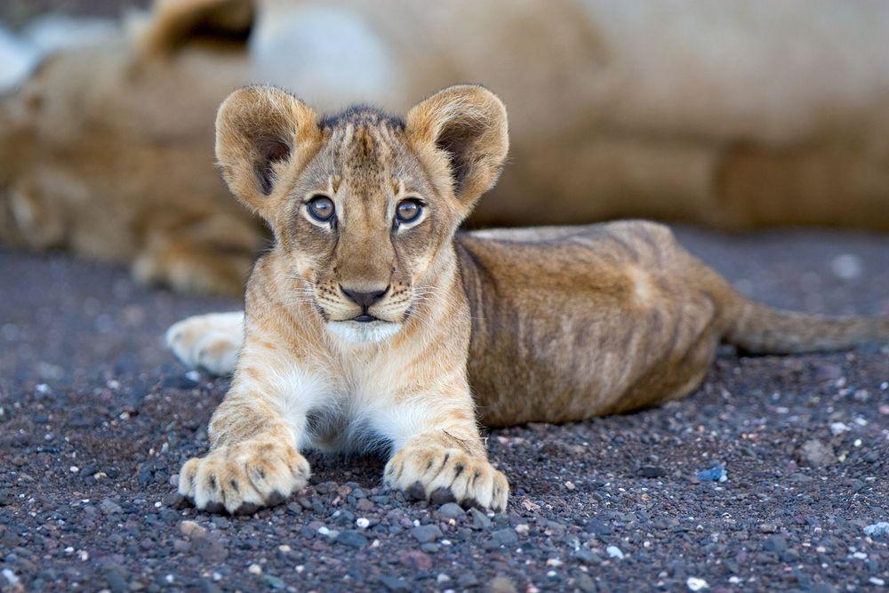 Wycieczka do Afryki. Wolontariat w Afryce - w ramach płatnego wolontariatu można opiekować się zwierzętami  / fot. Shutterstock