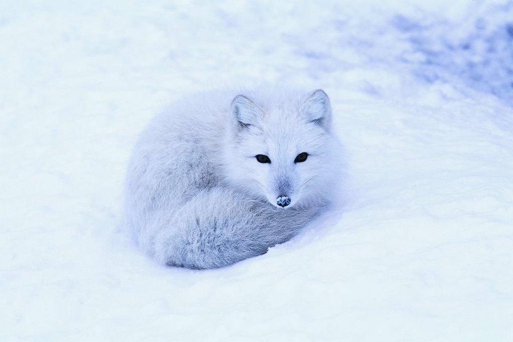 Arktyka - lis polarny