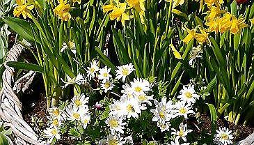 Tulipany, narcyzy i zawilce greckie kwitną w tym samym czasie. Donice wstawiono do wiklinowego kosza.