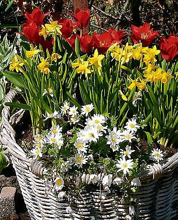 Narcyz - Narcissus