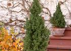 Iglaki, czyli zielono przez ca�y rok
