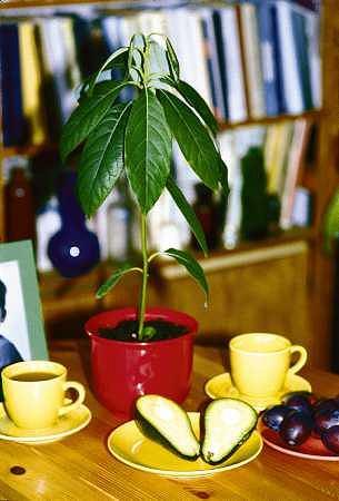 Wyj�te z owocu nasiona awokado, w suchym powietrzu szybko wysychaj� i trac� �ywotno��, dlatego najlepiej od razu umie�ci� je w wilgotnym pod�o�u.