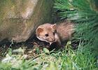 Kuna w domu, czyli szczury nam niestraszne