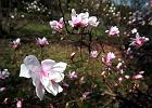 �wi�to magnolii w Powsinie - zakwit�o kilkaset ro�lin