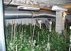 Szczecin: podziemna plantacja marihuany