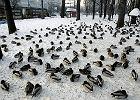 Wielka emigracja kaczek. Wylecia�a ponad po�owa