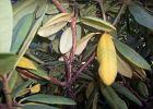 Chore rododendrony