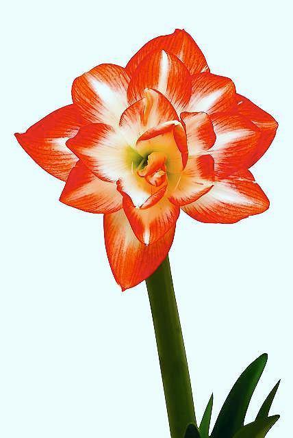 Pęd hipeastrum jest sztywny i mocny, musi przecież utrzymać tak ciężkie kwiaty, jak u tej pełnej odmiany