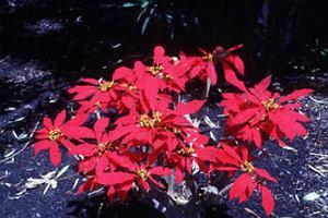 Poinsecja - Euforbia pulcherrima (gwiazda betlejemska)