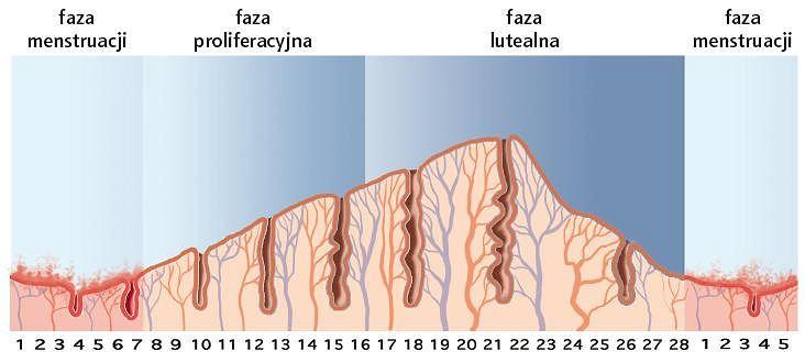Owulacja i cykl menstruacyjny. Owulacja to uwolnienie komórki jajowej z pęcherzyka jajnikowego. U kobiet w wieku rozrodczym co miesiąc w jednym z dwóch jajników dojrzewa jedna komórka jajowa. Komórka jajowa, otoczona osłonką, stanowi pęcherzyk jajnikowy. Około 14. dnia 28-dniowego cyklu menstruacyjnego pęcherzyk pęka, uwalniając komórkę jajową, która przemieszcza się w jajowodzie, gdzie spotyka plemniki, które mogą ją zapłodnić. Pęcherzyk pozbawiony komórki jajowej zamienia się w ciałko żółte. Jeśli nie dojdzie do zapłodnienia komórki jajowej, następuje obumarcie komórki jajowej, a następnie jej usunięcie podczas menstruacji. Cykl trwa średnio 28 dni i dzieli się na 3 fazy: 1. dzień stanowi początek menstruacji, która trwa 3-6 dni (faza menstruacji); od 6. do 14. dnia estrogeny produkowane przez pęcherzyk jajnikowy powodują wzrost grubości śluzówki macicy (faza proliferacyjna); w 14. dniu w drodze owulacji powstaje ciałko żółte, które od 15. do 28. dnia pobudza wydzielanie gruczołów błony śluzowej macicy (faza lutealna). Jeśli dochodzi do zapłodnienia, komórka jajowa zagnieżdża się ok. 20. dnia, a śluzówka macicy zachowuje swoje właściwości. W przeciwnym wypadku przechodzi w fazę niedokrwienną, poprzedzającą menstruację