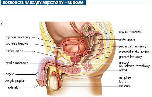 Budowa męskiego układu rozrodczego. Przekrój podłużny narządów rozrodczych męskich
