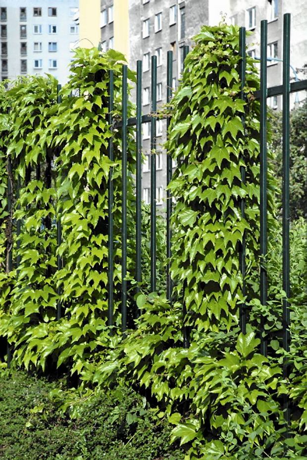 Dachówkowato ułożone liście winobluszczu trójklapowwego są idealną ochroną przed deszczem, wiatrem i słońcem