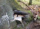 Bombowe znalezisko w lesie. Pocisk wrósł w konar drzewa