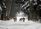 Wilki wracaj� do Polski