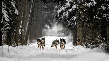 3 grudnia 2010, Puszcza Białowieska. Wajrak zawył na wilki, które zobaczył w oddali. Ciekawska wataha podeszła zobaczyć, kto zacz