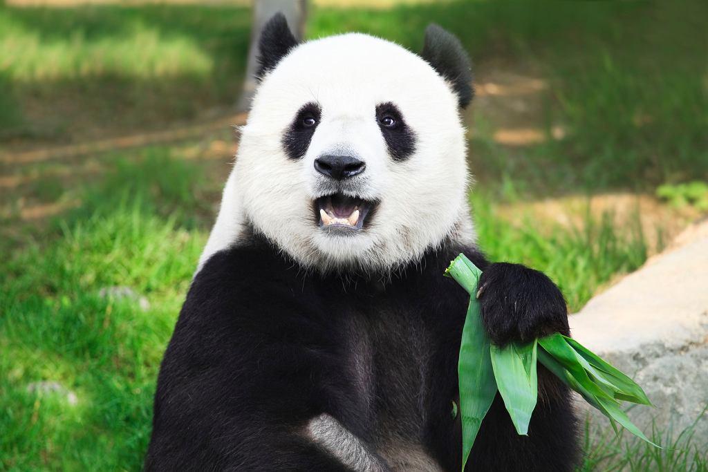 Głównym pokarmem pandy wielkiej są dziś liście bambusa (fot. GoodOlga / iStockphoto.com)