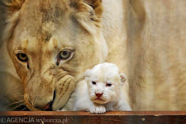 W ZOO Safari w Borysewie (wioska pod Poddębicami) na świat przyszły w tym tygodniu trzy białe lwy.