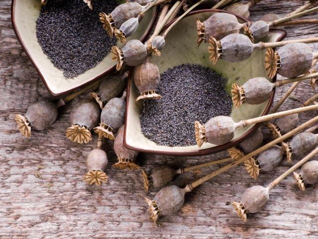 Odmiany maku, z których pozyskuje się nasiona do spożycia różnią się od tych, które służą celom medycznym.