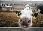 W Irlandii doch�d producent�w mleka spad� o 92 proc. Rolnicy w UE szykuj� protest
