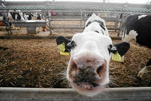 Rolnicy i mleczarnie wpadają w poważne kłopoty finansowe. Będzie interwencja w UE