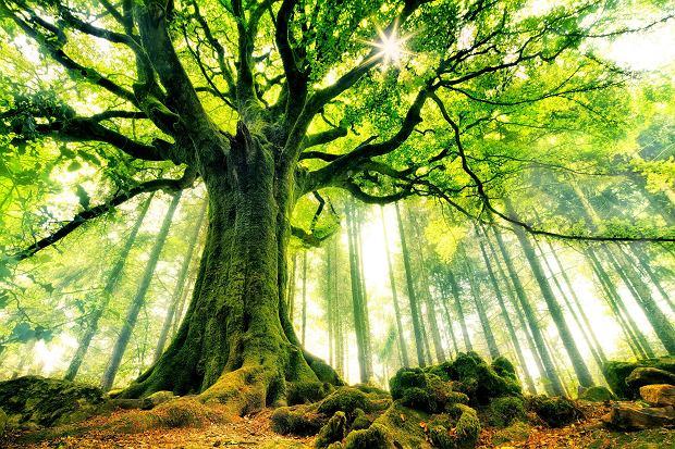 W latach 60. ubiegłego wieku pewien amerykański geolog niefrasobliwie ściął sosnę ościstą rosnącą w Górach Białych w Kalifornii. Okazało się, że miała 4,9 tys. lat i była najstarszym drzewem na świecie. Imienia tego, który pozbawił ją życia,  do dziś nie wolno wymawiać