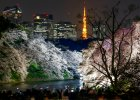 Japonia celebruje święto kwitnących wiśni