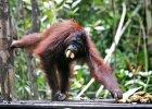 """""""Orangutany dor�wnuj� inteligencj� dziesi�ciolat"""