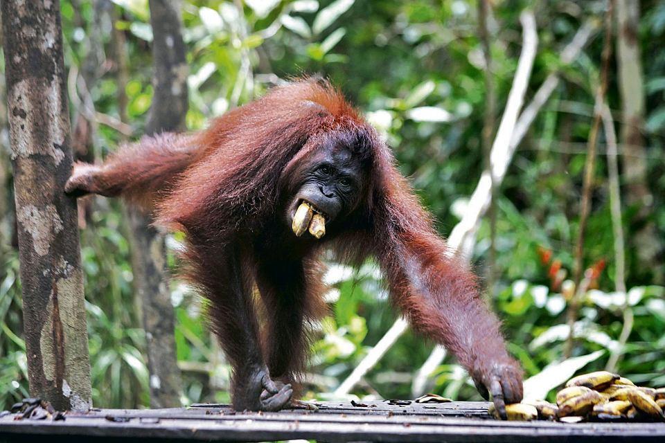To samica Beki. Mieszka w Parku Narodowym Tanjung Puting na indonezyjskim Borneo. Szacuje się, że na wolności żyje 60 tys. orangutanów
