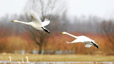 Jeżeli chodzenie szlakami, na których ostatnią nasuwającą się na myśl rzeczą jest tabun turystów, to coś dla Was, przygotowaliśmy kilka ciekawych propozycji wycieczkowych z Polski. // Ujście Warty. Rozlewiska Warty mają powierzchnię około ośmiu tysięcy hektarów. To królestwo dzikich zwierząt i 270 gatunków ptaków wodno-błotnych. W 2009 roku pejzaż nadwarciańskich mokradeł urzekł samą Komisję Europejską, która Ujście Warty mianowała Najlepszą Europejską Destynacją Turystyczną roku.