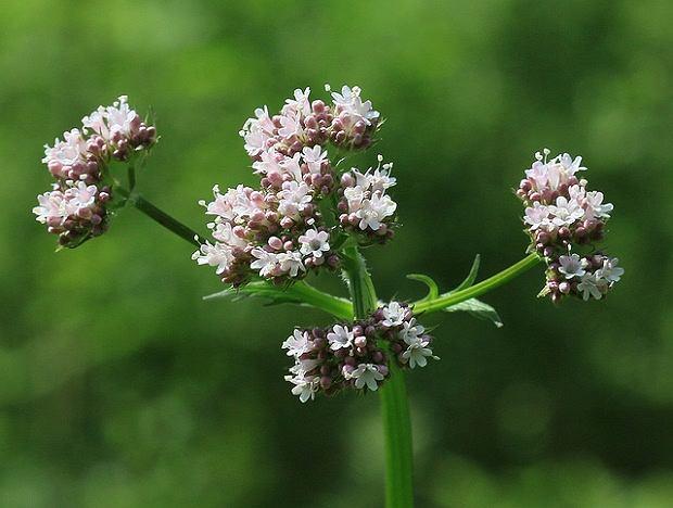 Kozłek lekarski (waleriana) - zapachowy kogiel-mogiel o działaniu uspokajającym