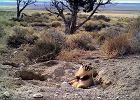 Borsuk siłacz - własnymi łapami zakopał (na później) cielaka