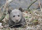 Uratowany w Bieszczadach niedźwiadek trafi do poznańskiego zoo