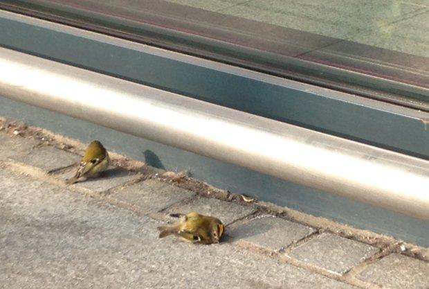Ptaki masowo rozbijają się o ścianę na lotnisku. Ornitolodzy: od dwóch lat nic nie zrobiono