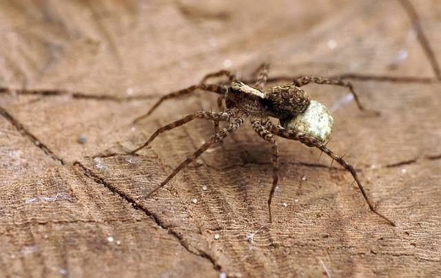 Jedną z częściej rozpoznawanych fobii jest arachnofobia, czyli lęk przed pająkami