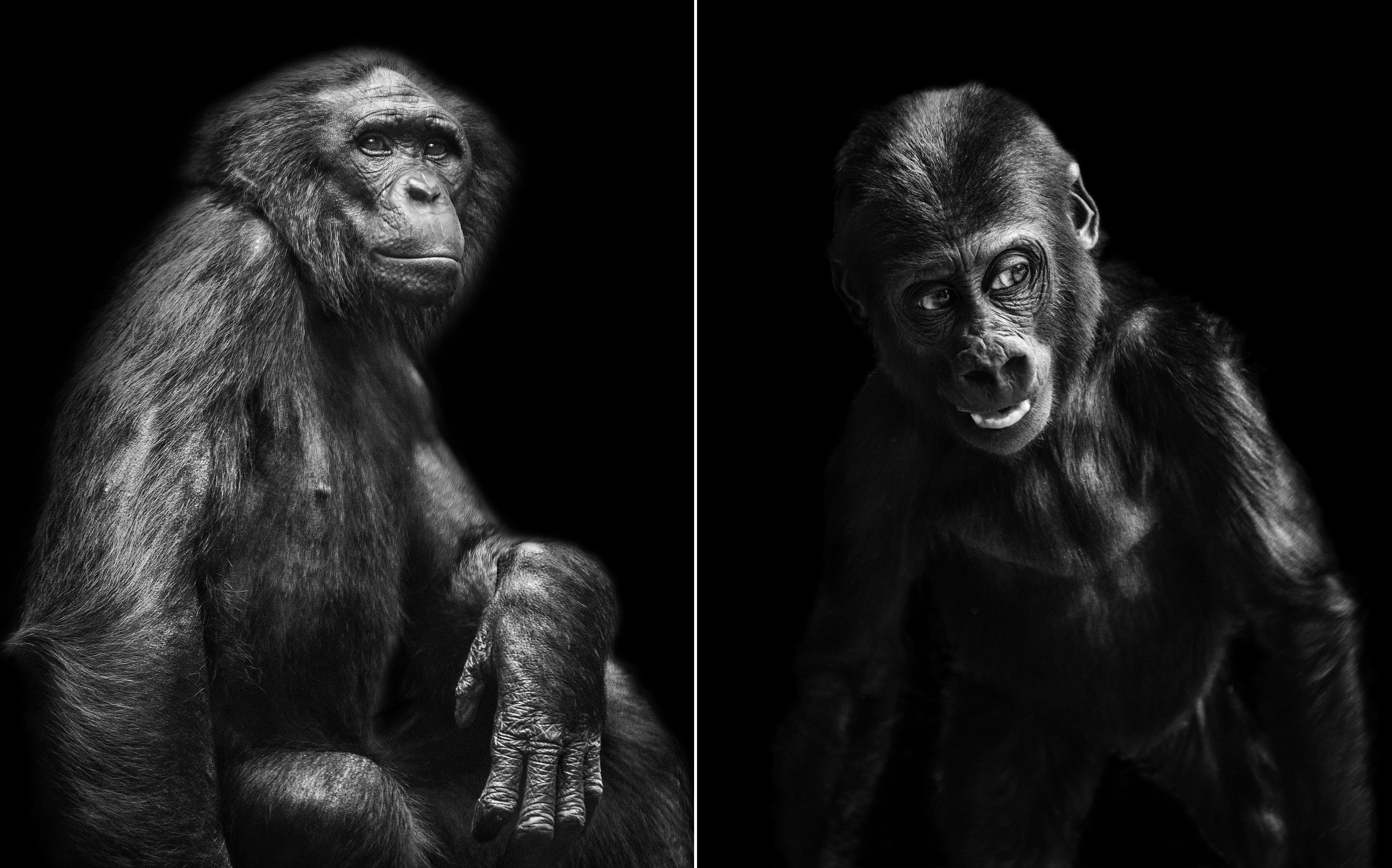 """Zdj�cia z ksi��ki fotograficznej """"inHuman"""", prezentuj�cej portrety ma�p wykonane w europejskich ogrodach zoologicznych przez Paw�a Bogumi�a (fot, Pawe� Bogumi�)"""