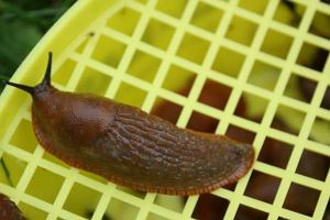 Jak przegoni� �limaki z ogrodu?