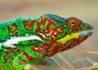 Wiemy ju�, jak kameleony zmieniaj� barw�. Fizycy b�d� zachwyceni