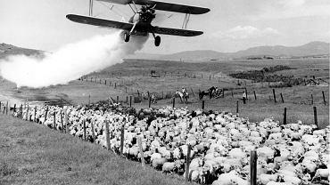 Na ranczu w Medford w stanie Oregon w USA samolot zrzuca na stado owiec proszek z dziesięcioprocentową zawartością DDT, 1948 r.