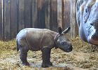 Sensacja w zoo. Poród nosorożca odbył się błyskawicznie, czyżby znowu samiec?