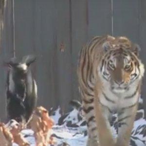 Dobrze widzicie. Tygrys. Obok niego koza. Ale najlepsza jest tu historia [WIDEO]