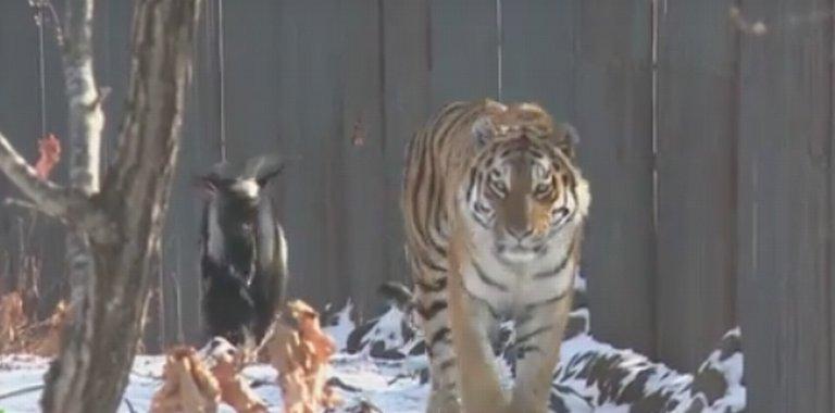 Dobrze widzicie. Tygrys. Obok niego spaceruje koza. Ale najlepsza jest tu historia [WIDEO]