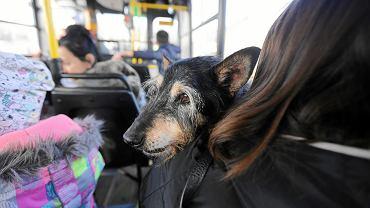 Kierowca nie wpuścił właścicielki psa do autobusu, bo zwierzę nie miało kagańca