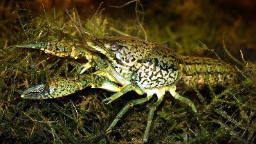 Rak marmurkowy, Procambarus virginalis