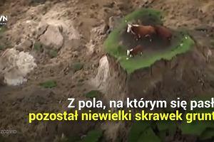 Trzy krowy cudem przeżyły trzęsienie ziemi w Nowej Zelandii. Na ratunek ruszył im właściciel z kilofem