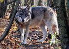 Na tropie wilka. Podążamy śladem drapieżnika w kaszubskim lesie [REPORTAŻ]
