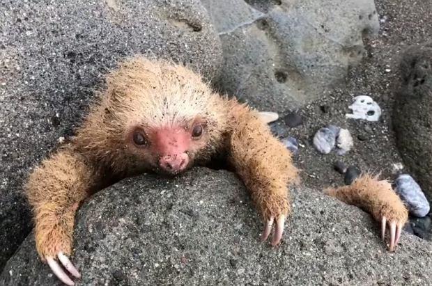 Mały leniwiec utknął między skałami |