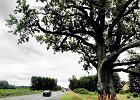 Powstanie obwodnica... dla drzew, które i tak umrą?