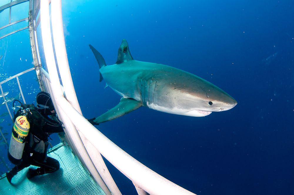 Żarłacz biały / shutterstock